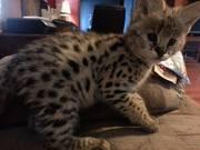 сервала и саванн f1 котята доступны